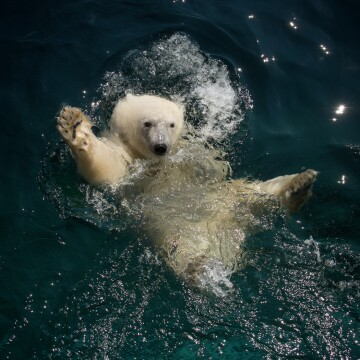 Nora the polar bear waving from a pool at the Columbus Zoo and Aquarium