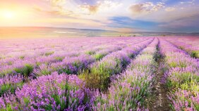 Fields of lavender, which is a key scent in the new Le Petit Marseillais line of products