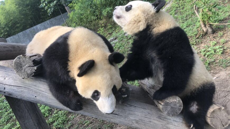 Panda Johnson & Johnson playing at the Shaanxi Academy of Forestry Qinling Giant Panda Breeding Research Center