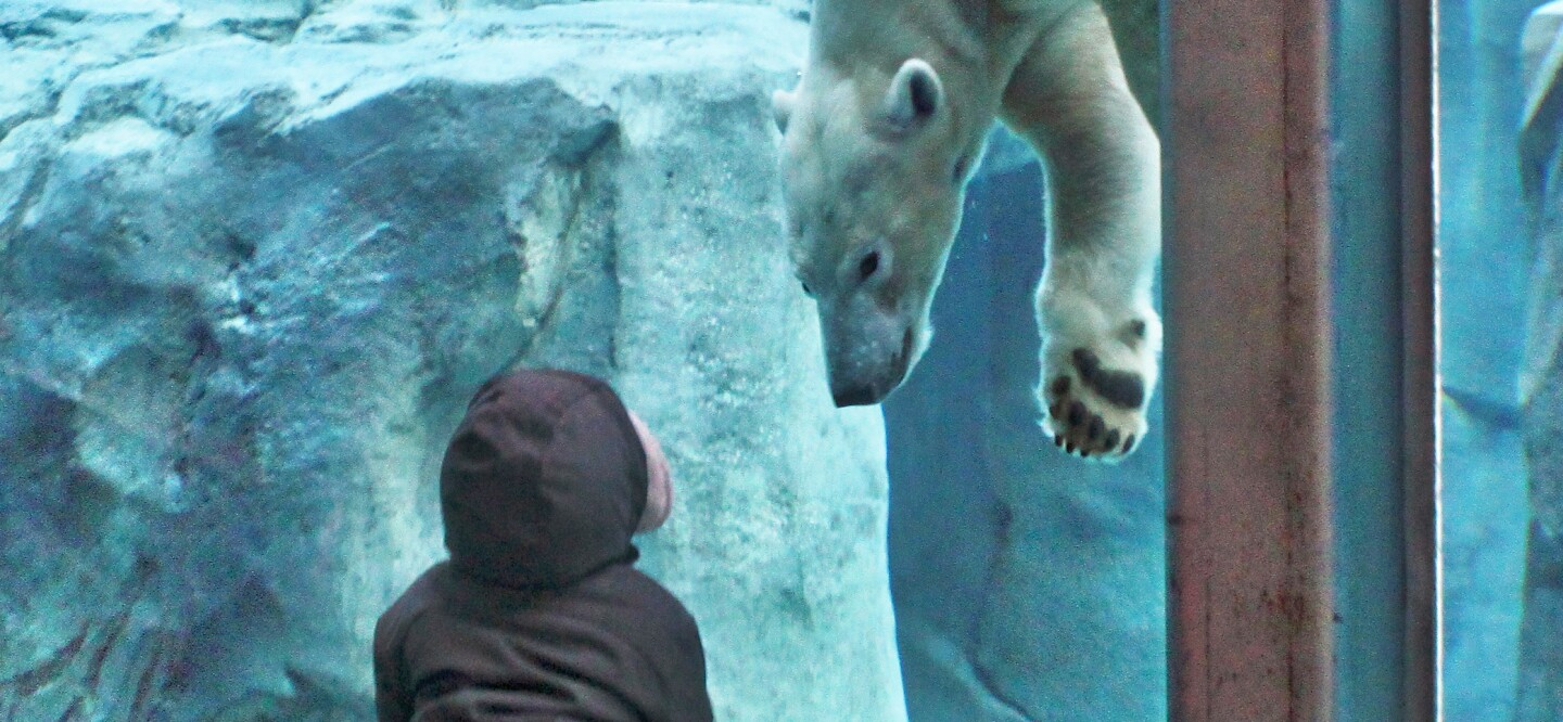 Nora the polar bear interacting with an onlooker at Utah's Hogle Zoo