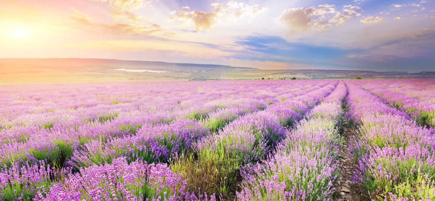 A photo of a lavender field