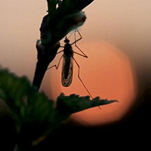 A photo of a mosquito