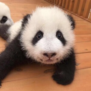 One of Johnson & Johnson's pandas
