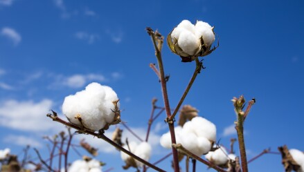 Close-up of cotton plants